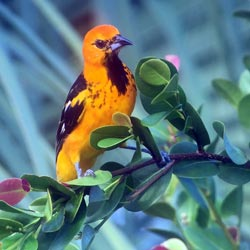 Spot-Breasted Oriole Florida Dec. 1, 2015 Photo by Dick Sayles